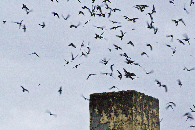 Vaux's Swifts by A Edmonstone FCC