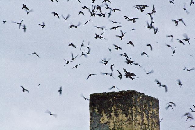 Vaux's Swifts by A Edmonstone FCC